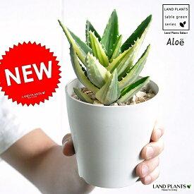 【お試しサイズ】 NEW!! アロエ(不夜城) 斑入り 4号 白色プラスチック鉢セット 多肉植物・多肉質・多肉・ カクタス・苗・苗木・ポイント消化・観葉植物 Aloe・アロエベラ