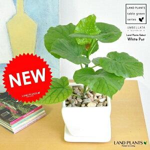 new!! フィカス・ウンベラータ 質感の良い白色 台形陶器鉢に植えた 可愛い卓上 ウンベラータ ウランベータ  ゴムの木 敬老の日 ポイント消化 観葉植物