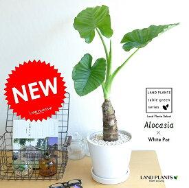 クワズイモ 白色 ラウンド陶器鉢 アロカシア 芋 アローカシア サトイモ 出世芋 アジアングリーン トトロ 傘 食わず芋