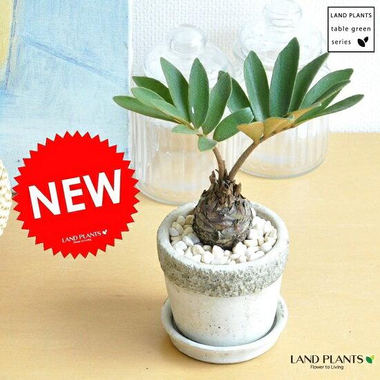 New!! ザミア 石模様のセメントポットに植えた ヒロハザミア・メキシコソテツ 敬老の日 ポイント消化 観葉植物