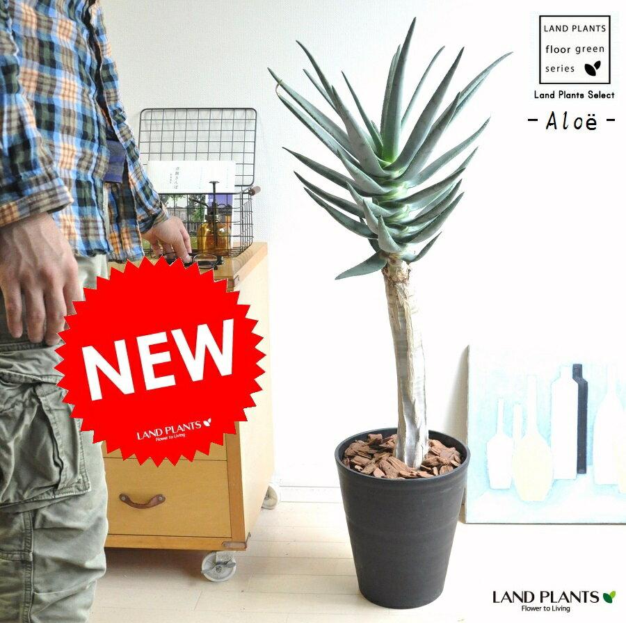 NEW!! アロエ ディコトマ 黒色デザイン鉢に植えた アロエの木 観葉植物 鉢植え 敬老の日 ポイント消化 観葉植物