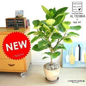 NEW!! 自然樹形 アルテシーマ バリエガータ 茶色エッグポット植えた 【送料無料】 こだわり樹形 斑入りゴムの木 フィカス アルテシーマゴム ゴムノキ アルテシマゴム アルテシマ アルティーシマ アルティシーマ