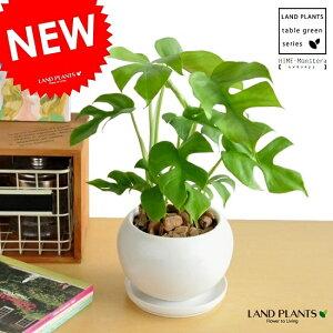 ヒメモンステラ 白色 丸型 陶器鉢(バークチップ)鉢植え苗 苗木 ミニモンステラ 観葉植物 丸 ホワイト 送料無料