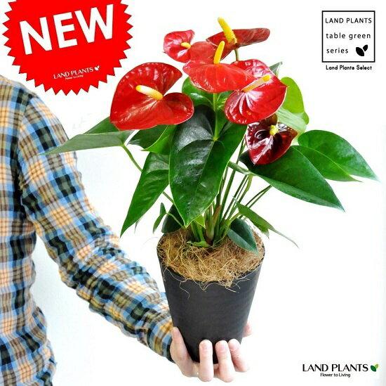 NEW!! アンスリューム 真赤な花付き観葉植物 黒色セラアート鉢 受皿付き 5号サイズ アンスリウム アンス ロイヤルチャンピオン母の日 敬老の日 ポイント消化 観葉植物