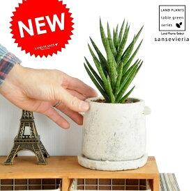 Re:NEW!! サンスベリア フランシシー  取って付セメントポットに植えた サンセベリア リュウゼツラン コンクリpot 敬老の日 ポイント消化 観葉植物