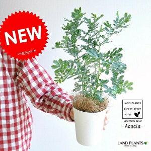 (ミモザ)アカシア 4号 白色 プラスチック鉢 鉢植え 鉢 苗 苗木 鉢苗 庭木 白 ホワイト 観葉植物 寄せ植え イタリア