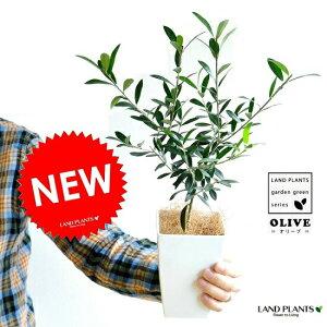【お試し】 オリーブ 4号 白色 プラスチック鉢 オリーブ苗 苗木 苗 鉢植え 鉢 観葉植物・植物 結婚式で両親へのプレゼント・結婚式の記念品・両親贈呈ギフト・両親贈呈品・ウエルカムツ