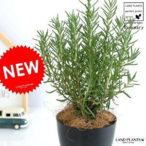 ローズマリー 4号 (黒色) プラスチック鉢 立性 ハーブ 鉢植え 苗 苗木 プラ鉢 黒 ブラック 丸 観葉植物 rosemary