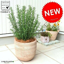 ローズマリー デザインの良い テラコッタ鉢 鉢植え 立性 苗 苗木 ローズマリ 素焼 陶器 ブラウン 茶 茶色 ベージュ 砂色