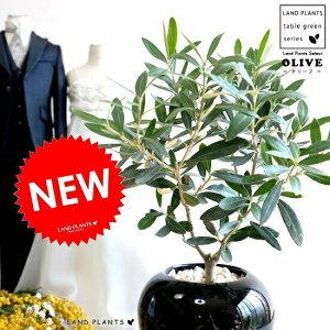 オリーブの木 丸形 陶器鉢 黒色 植木鉢 オリーブ 苗 苗木 鉢 植木 観葉植物 庭木 挙式用 結婚式 黒 ブラック 丸 ラウンド