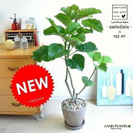 ウンベラータ(自然樹形) 茶色 エッグ型 ラウンド陶器鉢(天然石:茶色) 鉢植え 鉢 H100程度 8号 茶 ブラウン 観葉植物 送料無料