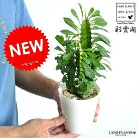【お試し】【希少】 サボテン(彩雲閣:サイウンカク) 4号 白色 プラスチック鉢 多肉植物・フユーフォルビア・トウダイグサ・ユーホルビア カクタス・苗・苗木・敬老の日・ポイント消化・観葉植物 Euphorbia trigona