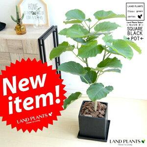 ウンベラータ 黒色 キューブ陶器 8号 Lサイズ 大型【観葉植物】 ブラック・陶器鉢・植木鉢・四角・スクエア