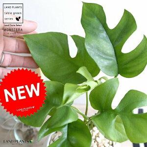 ミニモンステラ 白色 丸形 陶器鉢 鉢植え苗 苗木 ヒメモンステラ 観葉植物 白 丸 ホワイト 送料無料