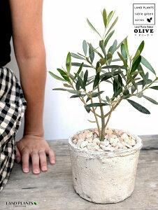 オリーブ 白色(アンティークホワイト) モスポット シリンダー型 陶器鉢(天然砕石) オリーブの木 オリーヴ 幸福の木 勝利の木 鉢植え 鉢 素焼 テラコッタ 白 ホワイト 丸 丸形 観葉植物