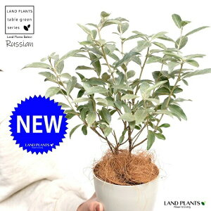 【お試し】 ロシアンオリーブ 4号  鉢植え 白色 プラスチック 苗 苗木 グミの木 ホワイト 寄せ植 ポイント消化 観葉植物