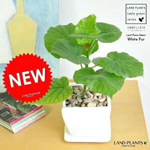 ウンベラータ どっしりした (白色)台形 陶器鉢 ウンベラータ ウランベータ  ゴムの木 敬老の日 ポイント消化 観葉植物