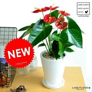 アンスリューム(赤花) 白色 スリム型 トール陶器鉢 真赤な花付き観葉植物 アンスリウム アンス ロイヤルチャンピオン敬老の日 ポイント消化 観葉植物