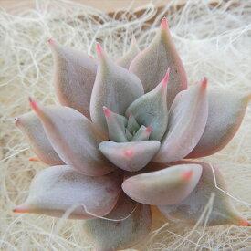 多肉植物 エケベリア ビューティーリリー(リラシナ×レッドエボニー)韓国苗 抜き苗(カット苗)エアーマジック 約3cm 観葉植物 インテリア