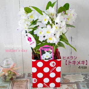 母の日 ギフト デンドロビウム トキメキ 4号鉢 洋ラン 洋蘭 ヒメラン 鉢花 プレゼント