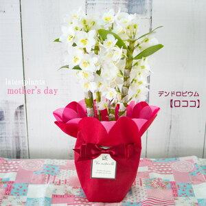 母の日 ギフト デンドロビウム スプリングジュエル ロココ 4号鉢 洋ラン 洋蘭 鉢花 プレゼント