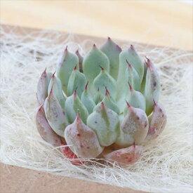 多肉植物 エケベリア ジャッカル 韓国抜き苗(カット苗)エアーマジック 約4cm 観葉植物 インテリア