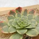多肉植物 アエオニウム フェスティバル 韓国苗 抜き苗(カット苗)約7cm 観葉植物 インテリア