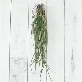 蘭 Seidenfadenia mitrata セイデンファデニア ミトラタ 板付き ラン 現品販売 0520-002