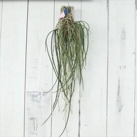 蘭 Seidenfadenia mitrata セイデンファデニア ミトラタ 板付き ラン 現品販売 0520-001