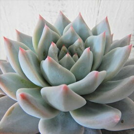 多肉植物 エケベリア ブルーバード 9cmポット 観葉植物 インテリア okr