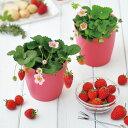 GD-796 ピンクの花咲くストロベリー栽培セット【栽培キット】【インテリア】【おしゃれ】【プレゼント】【聖新陶芸】