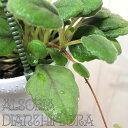 アルソビア ディアンティフローラ 3号吊り鉢【観葉植物】【インテリア】【イワタバコ】【吊り】【マニア】