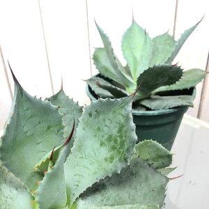 アガベ ポタトラム 雷神 5号【多肉植物】【ビザールプランツ】【オシャレ】【カッコイイ】【マニア】