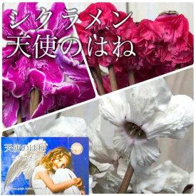 ミニシクラメン 天使のはね SUNメーカー 5号【冬】【クリスマス】【インテリア】【オシャレ】【マニア】