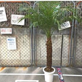 2020年入荷ヤシ!!【送料無料】ロベヤシ フェニックス・ロベリニー ヤシ ヤシの木 パームツリー 椰子 ロベ 観葉植物 お祝 新築祝い 開店祝い 9号 約170cm シンボルツリー
