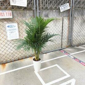 【送料無料】 アレカヤシ ヤシ ヤシの木 パームツリー 椰子 7号鉢 観葉植物 お祝 新築祝い 開店祝い 110cm