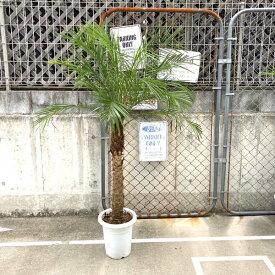 【送料無料】2020年度販売600本突破!! ロベヤシ フェニックス・ロベレニー ヤシ ヤシの木 パームツリー 椰子 ロベ 観葉植物 お祝 新築祝い 開店祝い 9号 約150cm-160cm シンボルツリー 記念樹 ドライガーデン