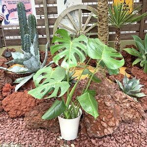 【送料無料】 モンステラ デリシオサ 観葉植物 新築祝い 開店祝い フラワーギフト 6号