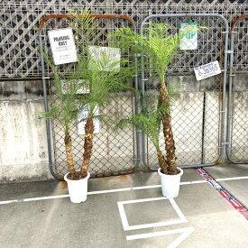 双子珍しい2本立ち【送料無料】 ロベヤシ フェニックス・ロベレニー ヤシ ヤシの木 パームツリー 椰子 ロベ シンノウヤシ 観葉植物 お祝 新築祝い 開店祝い シンボルツリー 8号 記念樹 ドライガーデン