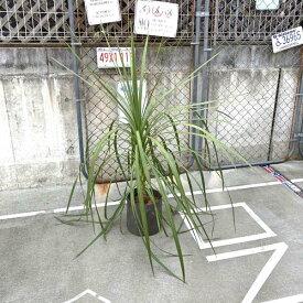 【送料無料】コルディリネ オーストラリス コルジリネ 120cm 8号 ドライガーデン