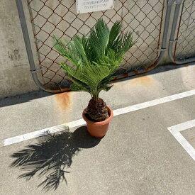 【送料無料】 蘇鉄 ソテツ 40cm 観葉植物 お祝 新築祝い 開店祝い シンボルツリー 5号 記念樹 耐寒性 ドライガーデン