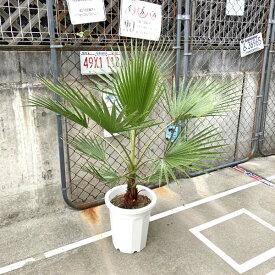 【送料無料】 ワシントニア ワシントンヤシ ヤシの木 パームツリー 観葉植物 お祝 新築祝い 開店祝い シンボルツリー 10号 110cm 耐寒性 記念樹 ドライガーデン