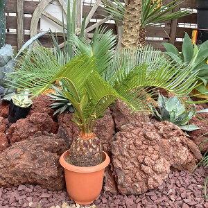【送料無料】 蘇鉄 ソテツ 50-70cm 観葉植物 お祝 新築祝い 開店祝い シンボルツリー 6号 記念樹 ドライガーデン