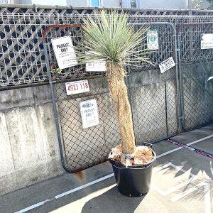 【送料無料】 ロストラータ ユッカ・ロストラータ 観葉植物 お祝 新築祝い 開店祝い シンボルツリー 180cm 記念樹 ドライガーデン ロックガーデン