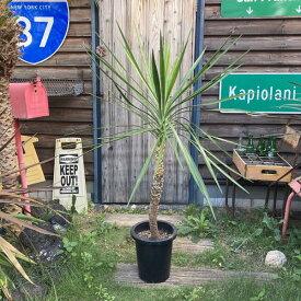 【送料無料】 アロイフォリア ユッカ・アロイフォリア 観葉植物 お祝 新築祝い 開店祝い シンボルツリー 8号 130cm 記念樹 耐寒性 ドライガーデン