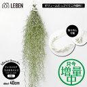 【期間限定!増量中】ウスネオイデス [1束] 40〜50cm スパニッシュモス エアープランツ エアプランツ 観葉植物 ティラ…