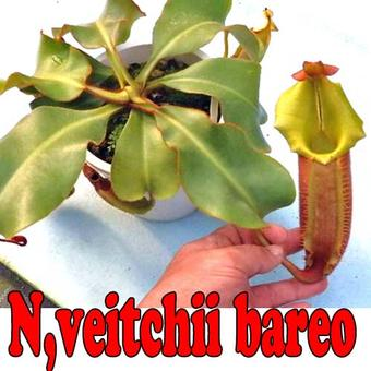 【輸入品】【面白植物】食虫植物 ネペンテス ビーチ バレオ