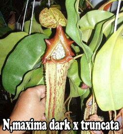 食虫植物 ネペンテス マキシマダーク x トランカータ 挿し木苗