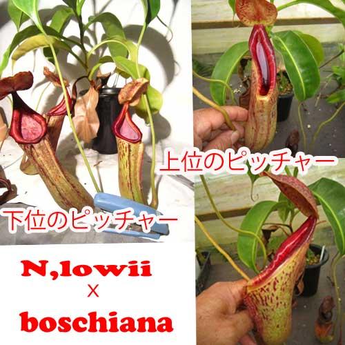 観葉植物 面白植物 食虫植物 ネペンテス ローウィxボッシアナ