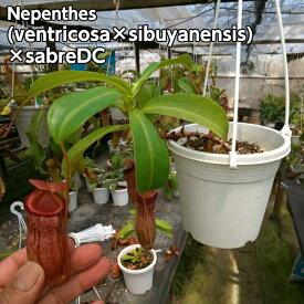 【観葉植物】【面白植物】食虫植物 ネペンテス (ベントリコーサ x シブヤンエンシス) x サブレDC 超人気品種ベントリコーサxトラスマディエンシスが父親